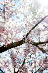 Pink Cherry Blossom with blue sky and sunshine.