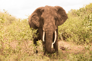 The Large Elephants of Tarangire National Park : The Elephants' Paradise