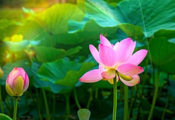 large lotus flowers. bright pink buds of lotus flower floating in the lake.