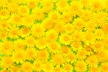 Fresh, yellow dandelions on pastel green background. Meadow concept. Springtime. Bright colors. Mockup for special offers as advertising or other ideas. Flat lay. Top view.