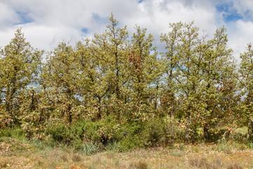 Robles marojos en primavera. Quercus pyrenaica.