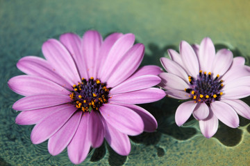 Purple daisies (Marguerite, Bornholmmargerite) in a bowl with water. Germany