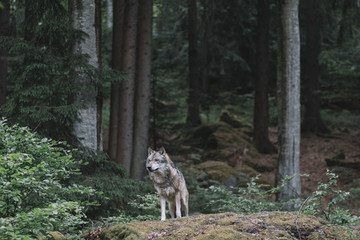 Wolf in forest. Bayerischer wald national park, Germany