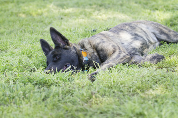 Puppy in the grass, Belgian Malinois or Dutch Shepherd young dog