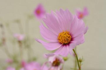 Rosa Blüte im Wind