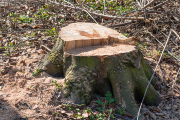 Stump from big removal tree in the wood