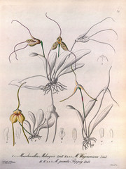 Illustration of orchid.