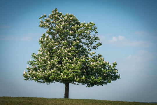 Flowering lonely chestnut tree on a hill
