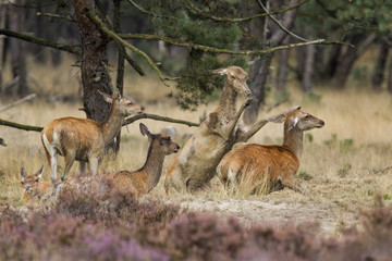 Female red deer fighting in the mud in Hoge Veluwe National Park in the Netherlands