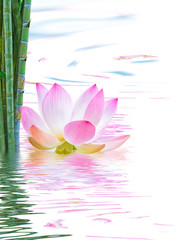 Foto auf Gartenposter Lotosblume lotus rose et bambou vert