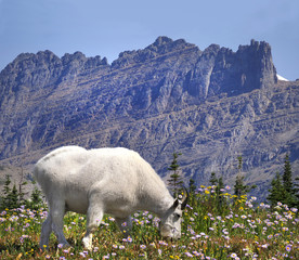 Focus Stacked Image of a Mountain Goat Glacier National Park