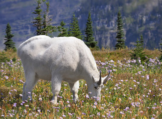 Focus Stacked Image of a White Mountain Goat Grazing Among the Wild Flowers