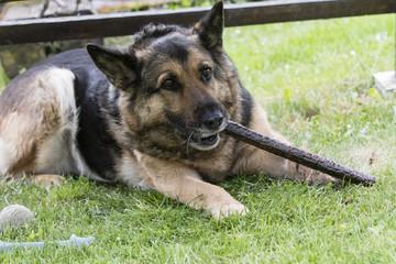 Adult dog german shepherd eating dog sausage.