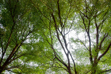 Beautiful panorama background view of trees and small leaves texture in the park during spring time.