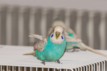 blue small parrot