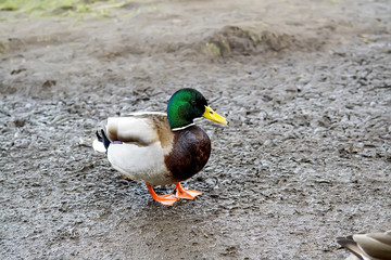 Close-up of colorful wild duck on a lakeshore in Kassel, Germany. Selective focus