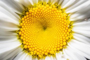 Daisy's Central Disc