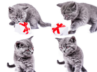 Scottish Straight kitten with gift box. collection of funny playful cat kitten isolated on white background. set of cute pet