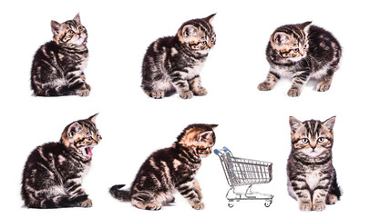 Scottish Straight kitten with shopping basket. collection of funny playful cat kitten isolated on white background. set of cute pet
