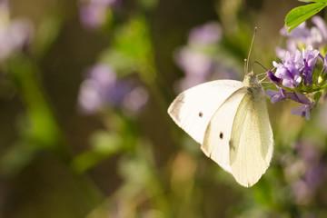Schmetterling, Falter