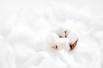 Fluffy white cotton flower