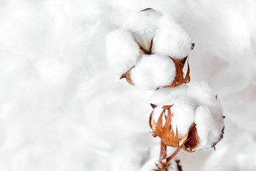 branch of white cotton flowers