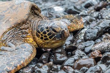 Green Sea Turtle on a Rocky Maui Beach