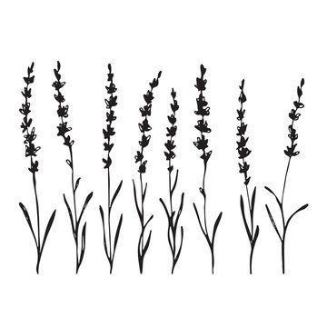 Set of hand drawn lavander flowers, monochrome silhouette
