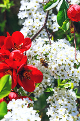 Bee on flowers of spiraea cinerea, near red bells flowers. White alyssum, bee and red flowers. White spring blossoms with beautiful bee. Beauty insect on spring scenic background.