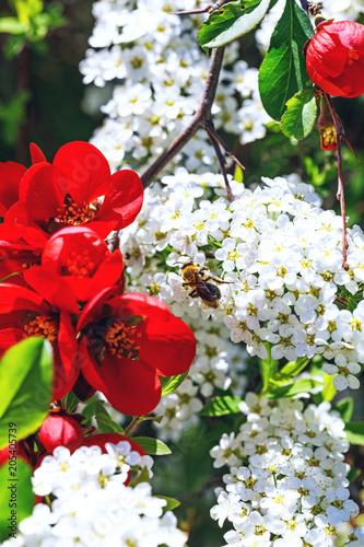 Bee on flowers of spiraea cinerea near red bells flowers white bee on flowers of spiraea cinerea near red bells flowers white alyssum bee mightylinksfo
