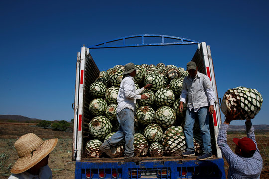Farmers, also known as jimadores, load blue agave hearts onto a truck after harvest in Tequila
