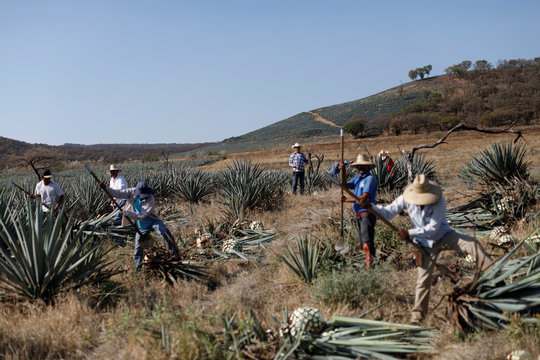 Farmers, also known as jimadores, harvest blue agave on a plantation in Tequila