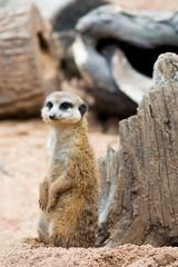 Meerkat - Suricata