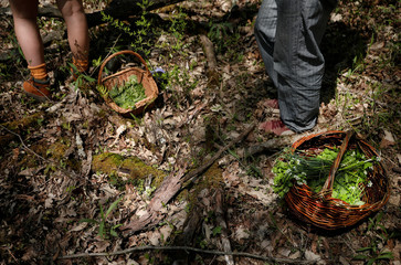 """Baskets of foraged wild plants sit on the forest floor during a """"Forage and Feast"""" walk in Germantown, New York"""
