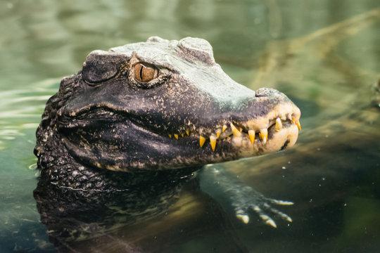 Caiman crocodilus (Crocodilia)
