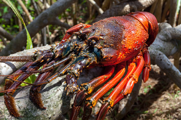 Close-up image of the big rock lobster sitting on the dry tree branch of the tropical tree. Delicious food for healthy lifestyle. Traditional delicacy of Sri Lanka.