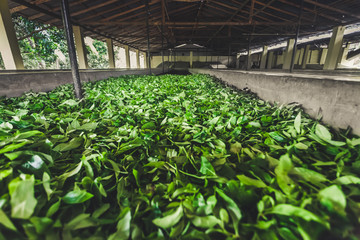 The special building for tea leaves storage on the tea plantation of Nuwara Eliya. Sri Lanka is one of the world`s leading exporter of high-quality tea.