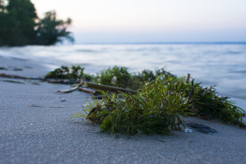 Algae on the shore of a close-up. The beginning of the sunset on the Dnieper River
