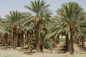 Date Trees at the Dead Sea