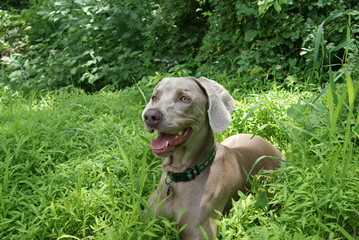 Gray Dog in Bright Green Setting with Grass