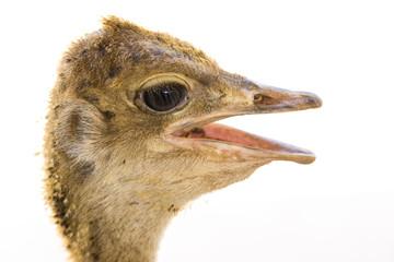 Ostrich chick