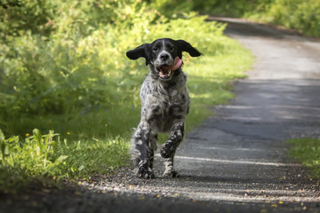 cute happy english setter in action running towards camera