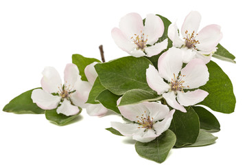 Flowers of quince, isolated on a white background
