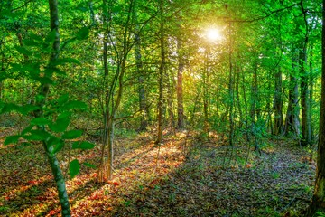 A beautiful landscape of a golden sun shining through a forest with sunglare onto a leafy ground.