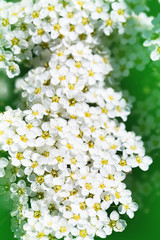 Close up picture with spiraea bush showing the details of flowers. White Spirea in a green garden. Background of white spring flowers.