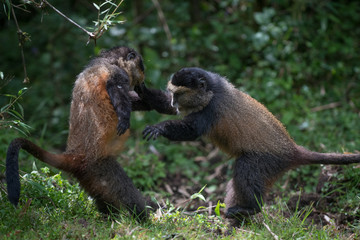 Golden monkeys playing