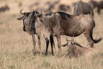 wildebeest at Masai mara Wall mural