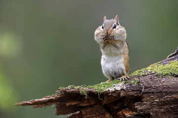 Poster Eekhoorn Eastern Chipmunk standing on a mossy log with its cheep pouches full of food
