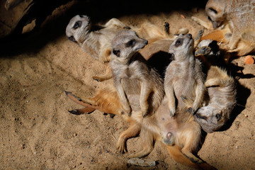 Relax of African Meerkat (Suricata suricatta) family