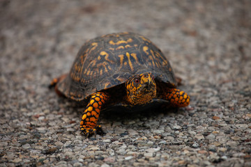 box turtle crossing